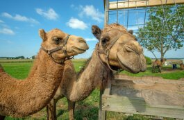River Jordan Camel Dairy in Milford currently has four dromedary camels and one Bactrian-dromedary mix.