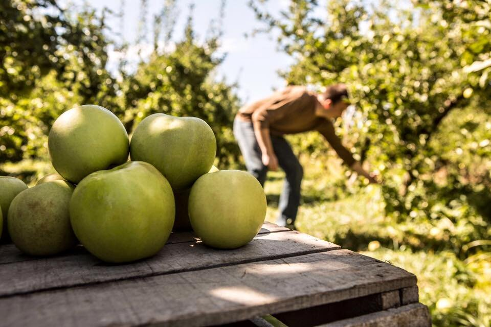 Purchase or pick your own apples at Cook's Orchard.