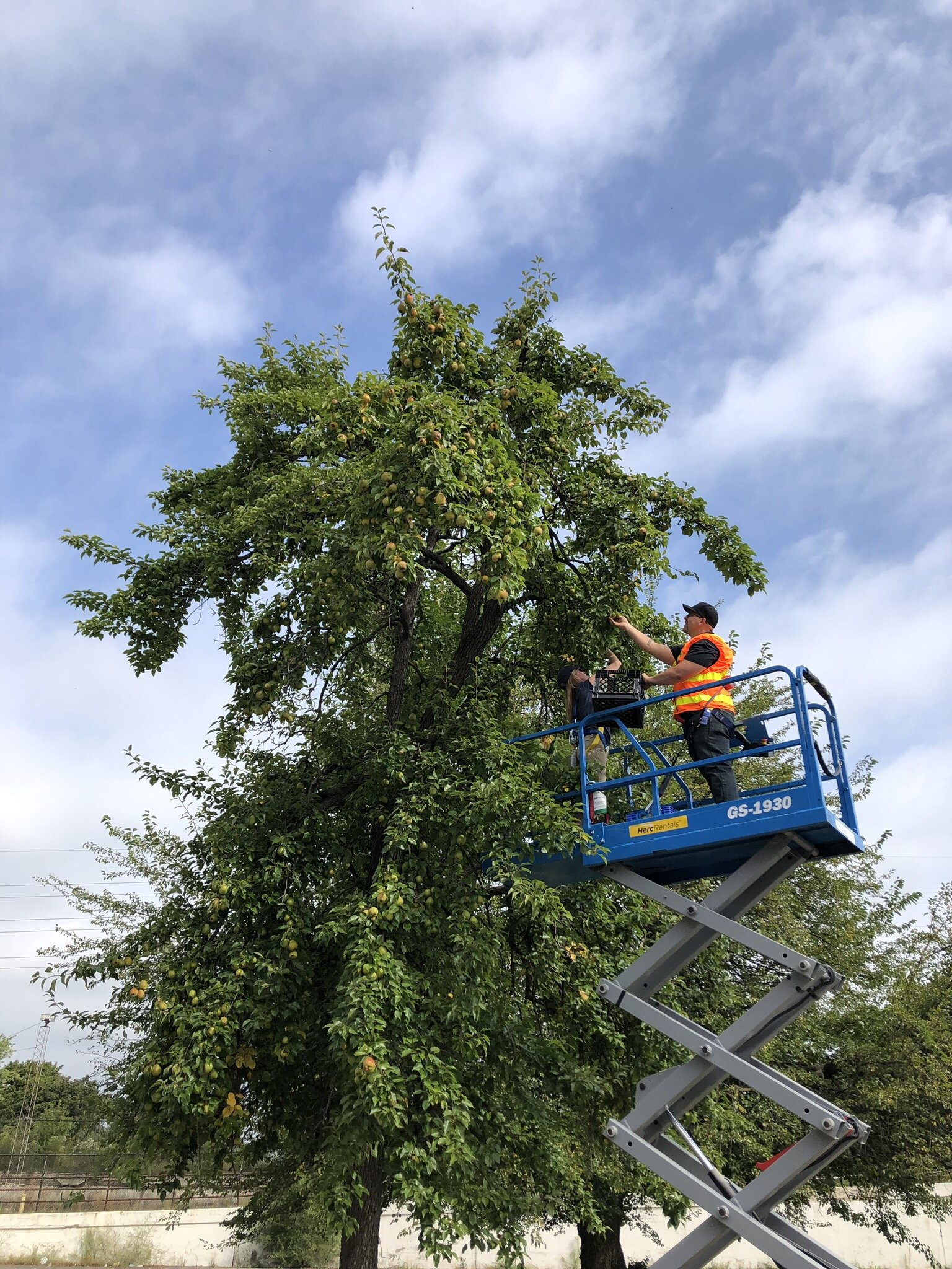 Herc Rentals donated equipment to help volunteers harvest the pear tree at Electric Works.