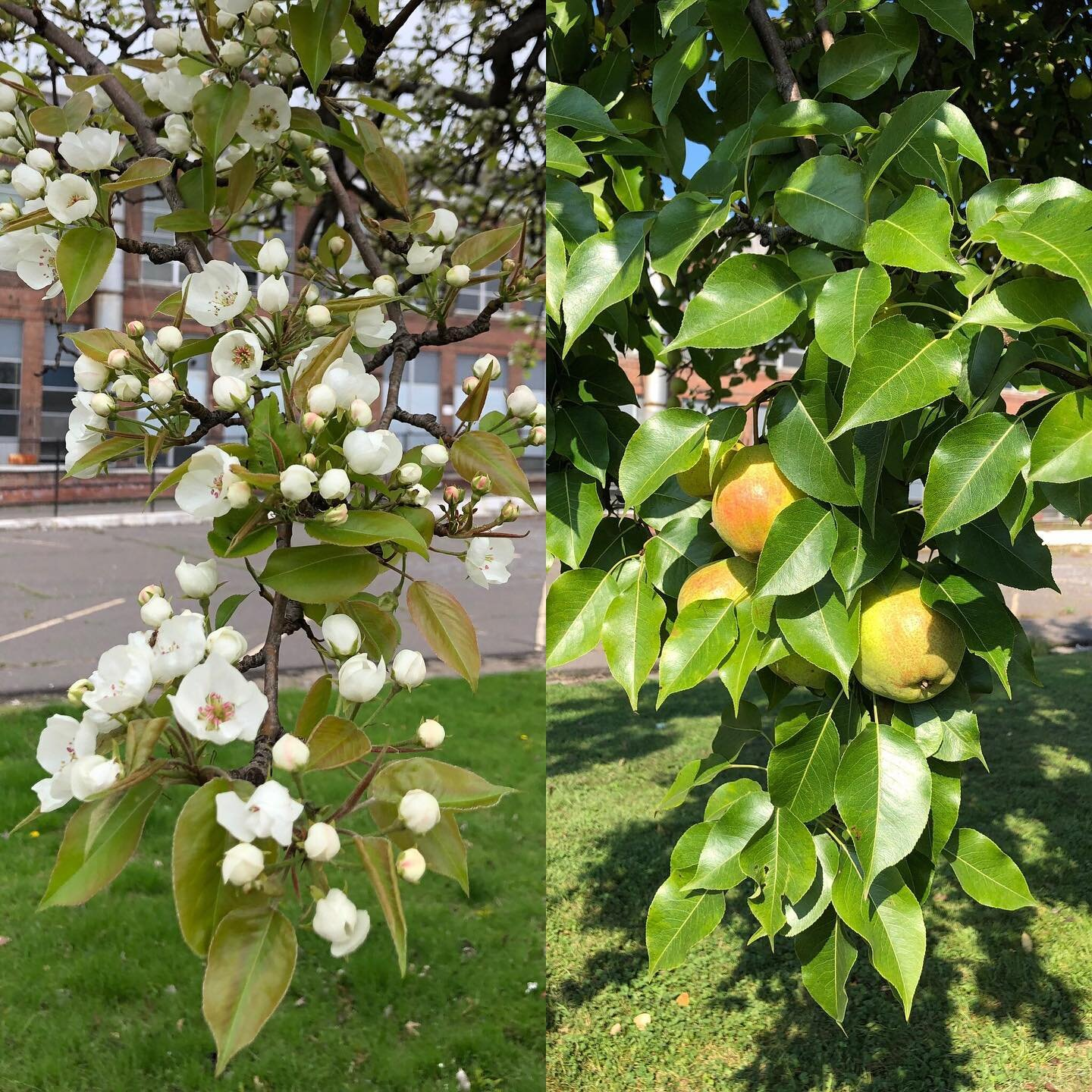 The pear tree at Electric Works has been blooming every year, with or without anyone around to harvest its fruit.