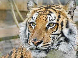 Black Pine Animal Sanctuary in Albion is home to seven rescued tigers.